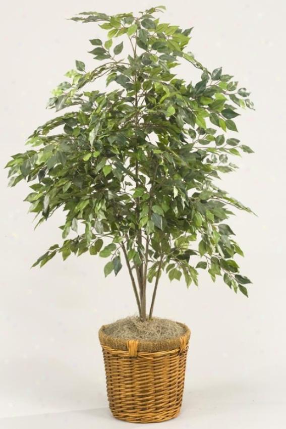 Mini Ficus Bush In Baskdt - 4'h, Green